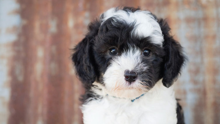 Sheepadoodle Meet One Of The Most Adored Doodles Barking