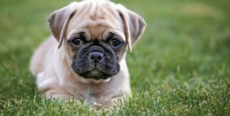Chihuahua Pug Mix – Everything You Need To Know About The Chug Dog