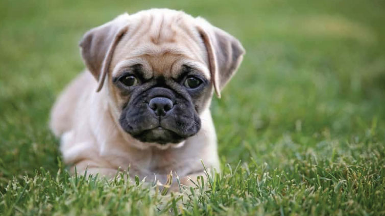 Chihuahua Pug Mix Everything You Need To Know About The Chug Dog