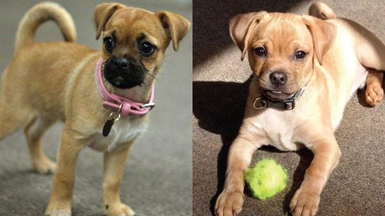 Meet The Chug Dog – Chihuahua Pug Mix Facts And Traits