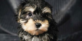 Morkie – The Ultimate Guide To The Yorkie and Maltese Cross