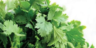 Can Dogs Eat Cilantro?