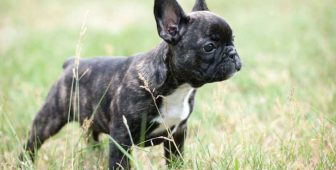 French Bulldog Allergies: Causes and Treatments