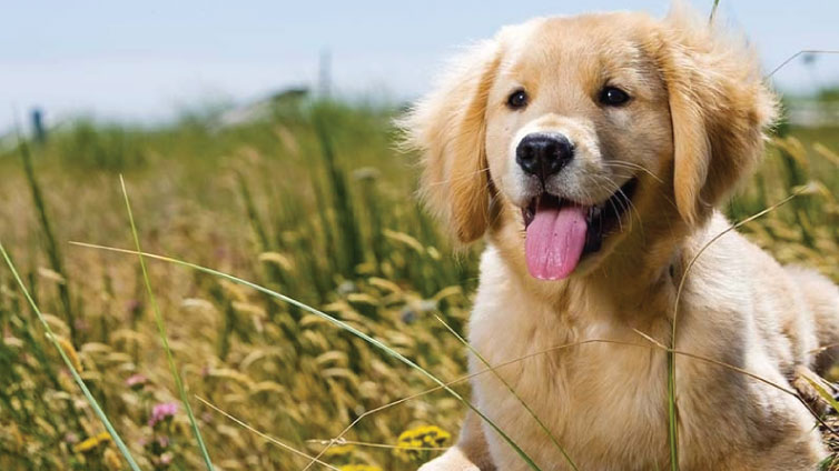 golden retriever allergies