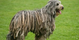 6 Dogs That Look Like A Mop