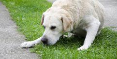 dog throwing up