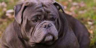 Exotic Bully – The Ultimate Guide To The Exotics