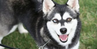 Alaskan Klee Kai – The Ultimate Guide To The Mini Husky Breed