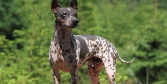 9 Hairless Dog Breeds