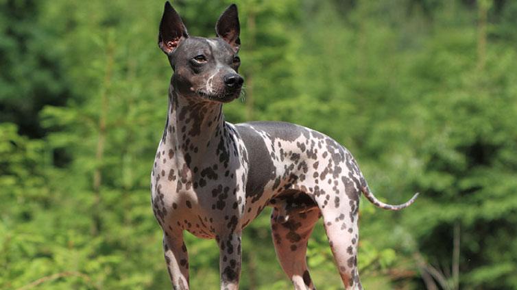 9 Hairless Dog Breeds Barking Royalty