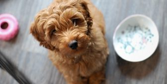 Australian Labradoodle – The Ultimate Guide