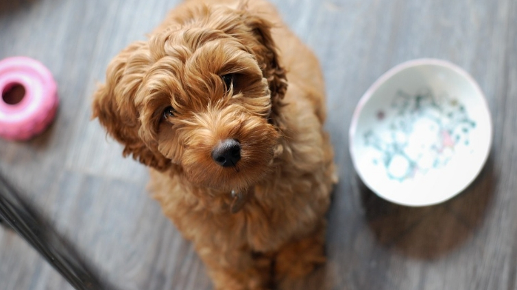Australian Labradoodle The Ultimate Guide Barking Royalty