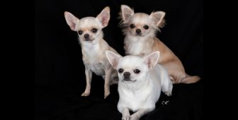 Chihuahua Types – Learn The Difference