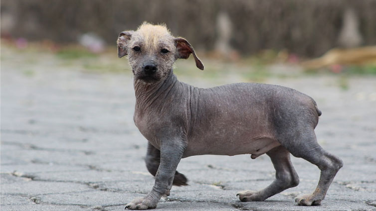 ecuadorian hairless dog