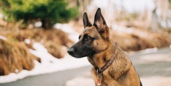 15 Facts About German Shepherd