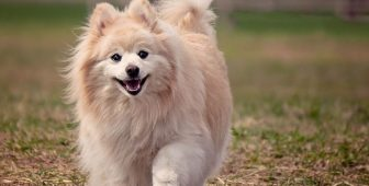 Pomeranian – All You Need To Know On Pompom