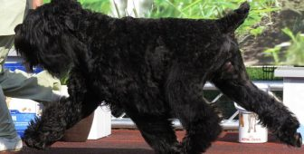 Black Russian Terrier – Complete Breed Info