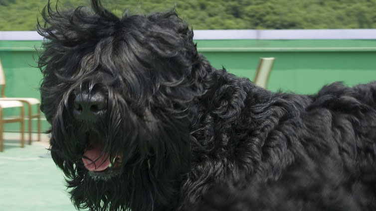 Black Russian Terrier – Complete Breed Info