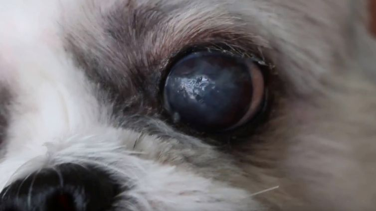 Recognize Symptoms Of Common Dog Eye Problems
