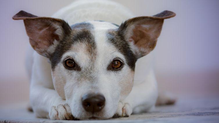 CBD For Dog Pain Explained