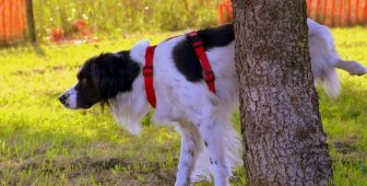 Blood In Dog Urine – What's Causing It And How To Cure It?