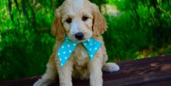 How To Ensure You Always Have A Properly Groomed Goldendoodle
