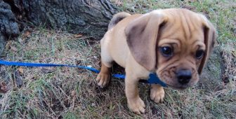 15 Amazing Facts About Puggle