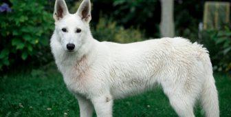 White Swiss Shepherd –  German Shepherd Relative Demystified
