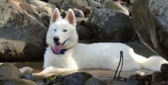 15 Facts About The Stunning White Husky