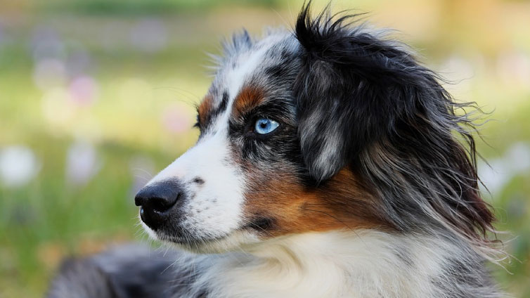 australian shepherd blue eyes