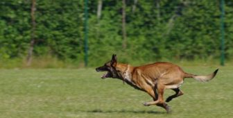 Belgian Malinois Shepherd – Complete Breed Guide