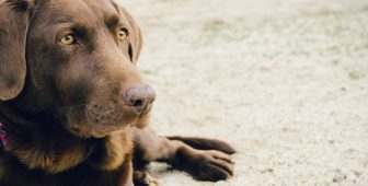 Dog Dementia – Facts That You Should Know