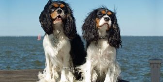 Cavalier King Charles Spaniel – The Ultimate Guide