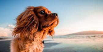 CBD Oil For Dog's Arthritis – Does It Work?
