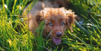 Can Dogs Eat Dates – Finally Answered