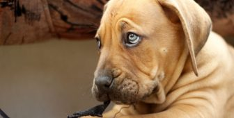 Dogs With Blue Eyes – Common Dog Breeds To Have Blue Eyes