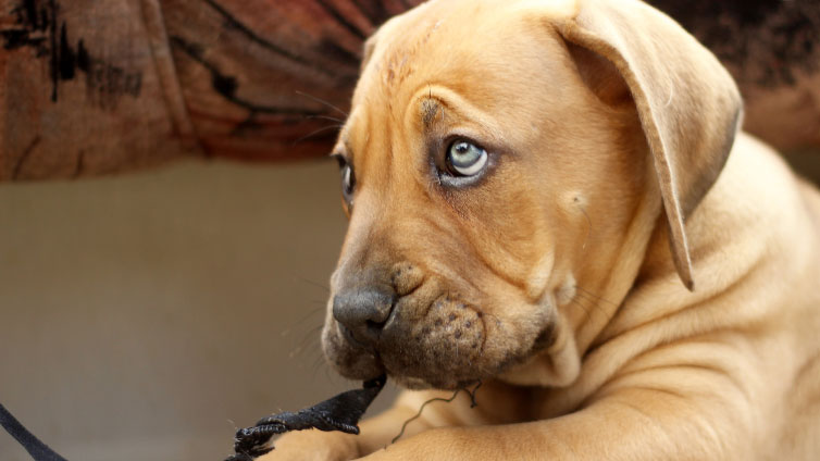 Dogs With Blue Eyes Common Dog Breeds