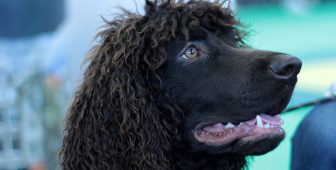 15 Incredible Facts About Irish Water Spaniel