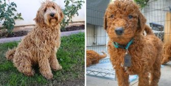 Labradoodle vs. Goldendoodle – Which Breed Makes A Better Pet For You?