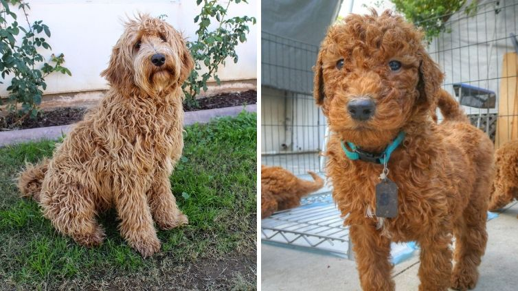 Labradoodle Vs Goldendoodle Which Breed Makes A Better