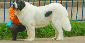 Pyrenean Mastiff – Complete Breed Guide