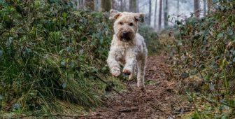 Soft Coated Wheaten Terrier – Complete Breed Info