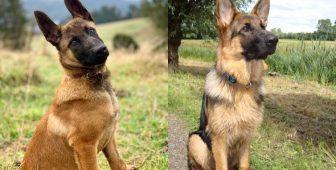Belgian Malinois VS German Shepherd – The Ultimate Guide