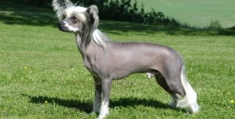 Chinese Crested Dog – The Ultimate Guide