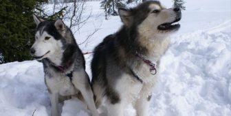 Siberian Husky vs. Alaskan Malamute