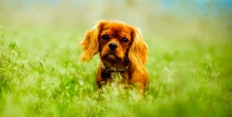 CBD Dog Treats For Joint Pain: How Can They Help?