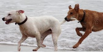 Dog Mating Twice Same Day – Is It Possible?
