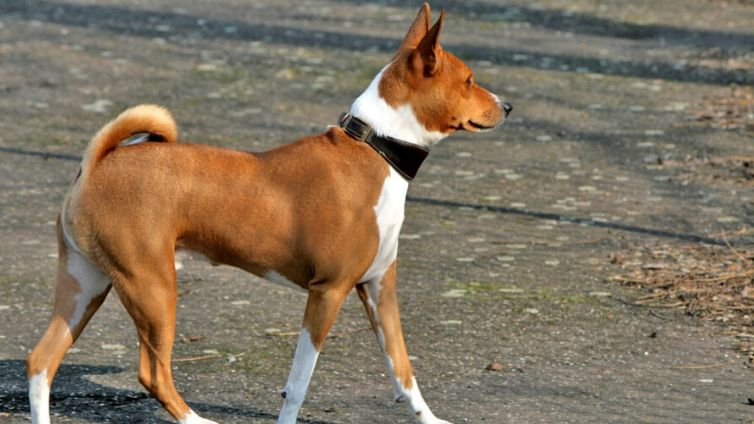 10 Incredible Dogs From Africa You Have To Meet Barking Royalty