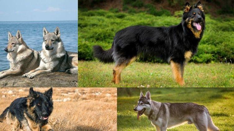 Breeds Of German Shepherd The