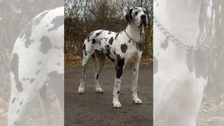 Great Dane The Ultimate Guide Barking Royalty